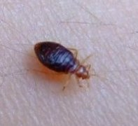 Bed Bug Pictures And Information