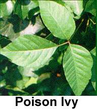 Different Types Of Poison Ivy Healthy Hesongbai